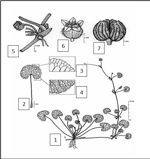 Skema tumbuhan pegagan