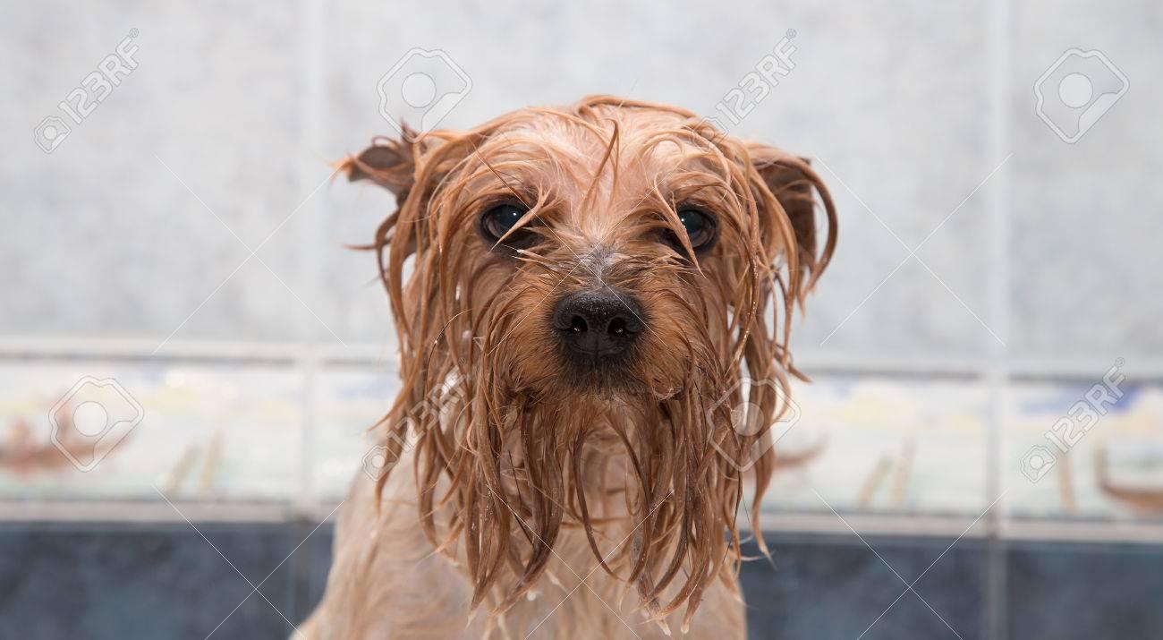 24616412-little-wet-yorkshire-terrier-after-the-bath