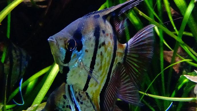 Ikan manfish atau Anglefish