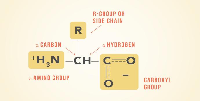 Apa saja kelompok asam amino yang ada pada manusia?