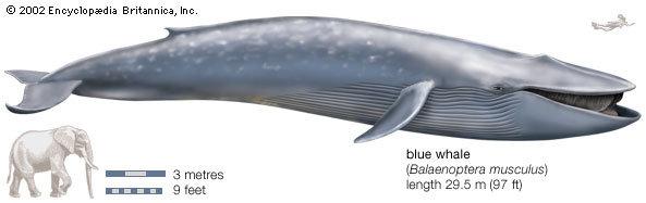 perbandingan ukuran antara Ikan Paus Biru dengan Gajah