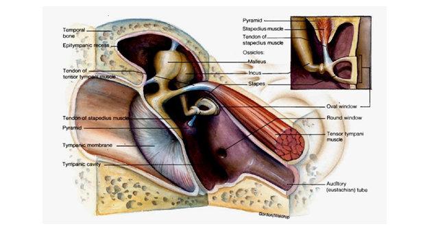 Susunan tulang-tulang pendengaran