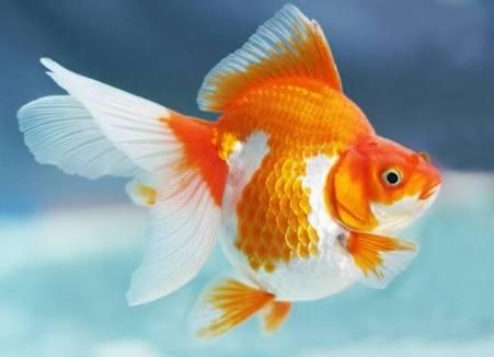 870 Gambar Hewan Ikan Koki HD Terbaru