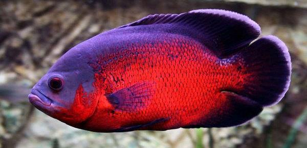 Ikan Oscar Red