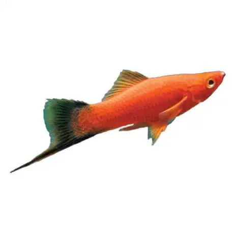 Apa Saja Jenis Jenis Ikan Ekor Pedang Diskusi Perikanan Dictio Community