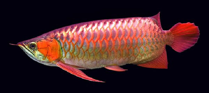 Bagaimana Manajemen Pakan Ikan Arwana Agar Tetap Sehat Akuakultur Dictio Community