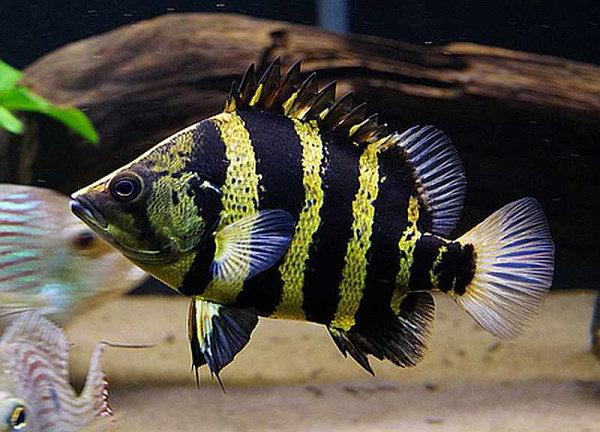 Ikan Datz Papua