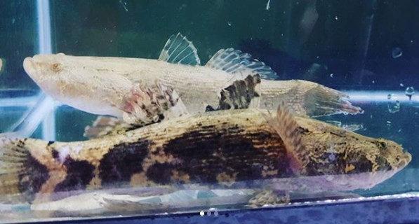 Jenis Ikan Gabus Gambar Ikan Apa Saja Jenis Jenis Ikan Gabus Yang Ada Di Indonesia Diskusi Perikanan Dictio Community