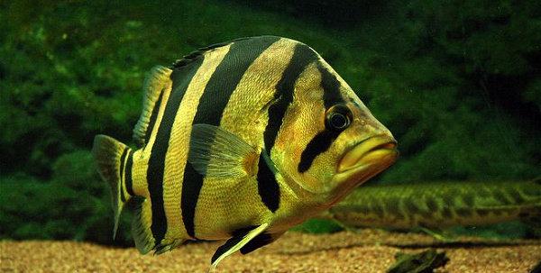Ikan Datz Pulcher