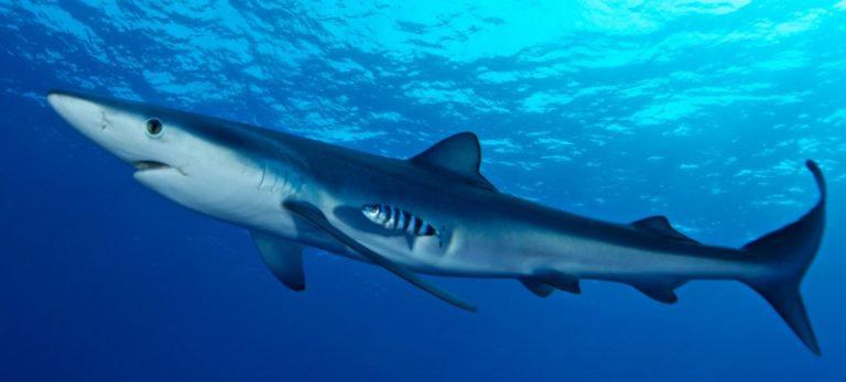 ikan hiu biru