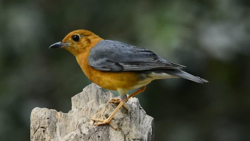 Bagaimana Cara Perawatan Burung Anis Merah Disaat Musim Hujan Hewan Peliharaan Dictio Community