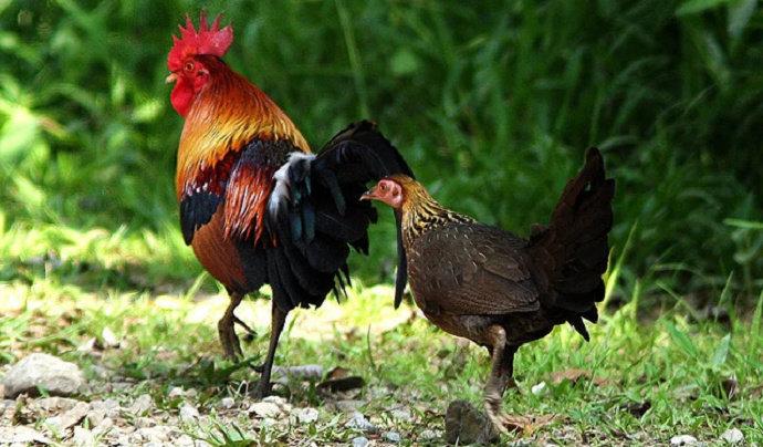 Bagaimana Cara Mempercepat Agar Ayam Hutan Mau Kawin Hewan Peliharaan Dictio Community