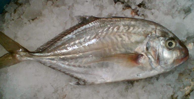Ikan Kuwe Batu Putih Hitam
