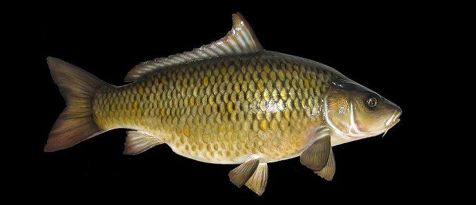 Unduh 8100 Koleksi Gambar Ikan Mas HD Gratis