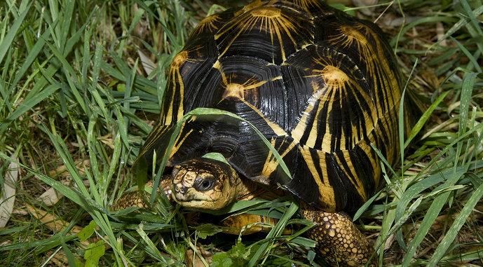 Kura-kura Radiated Tortoise