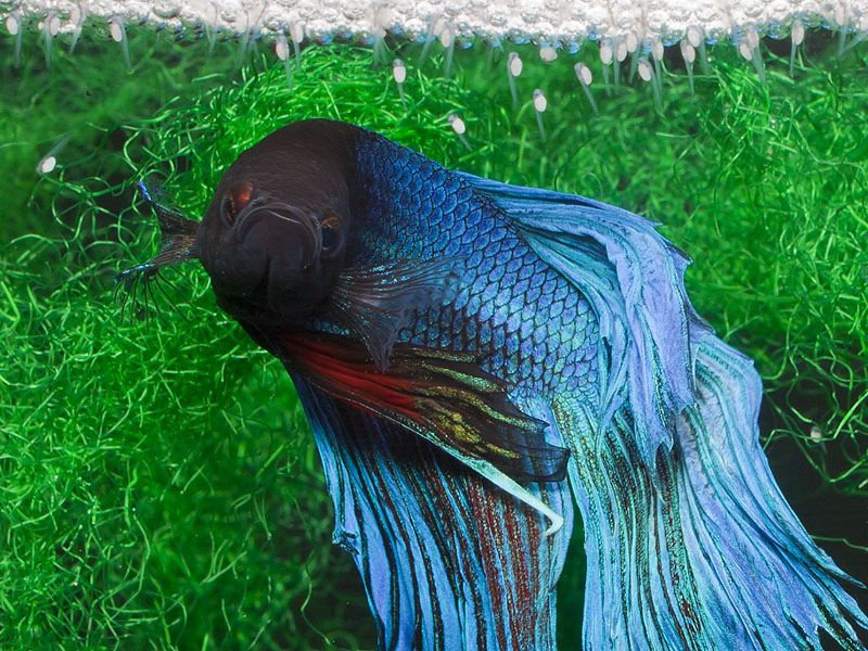ikan cupang Betta Splendens