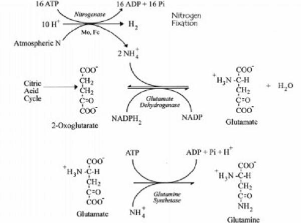 Reaksi Kimia Perubahan Molekul Amonium menjadi Glutamin