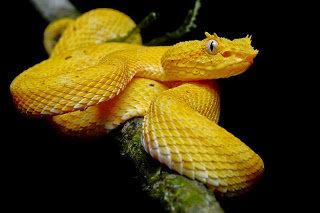 Ular Carpet Viper
