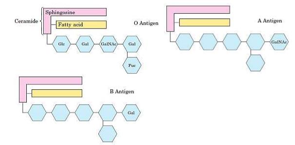 Glikospingolipid Penyusun Golongan Darah O, A dan B