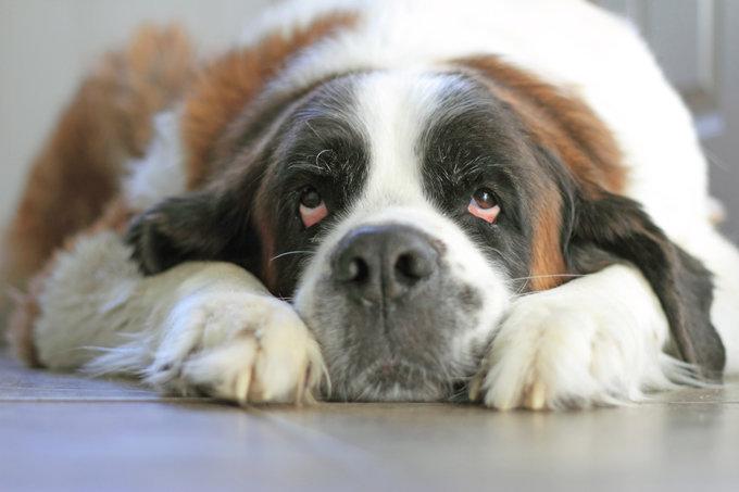 saint-bernard-dogs-puppies-10