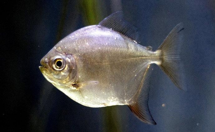 ikan piranha Metynnis Argenteus
