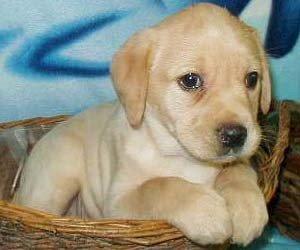 Labrador-retriever-puppies-300x250