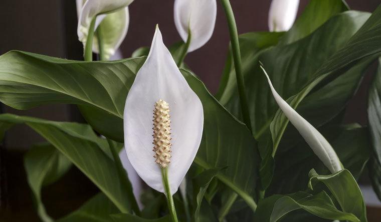 Peace Liliy as Ornamental Plant