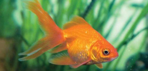 Unduh 6300 Gambar Morfologi Ikan Mas HD Terpopuler
