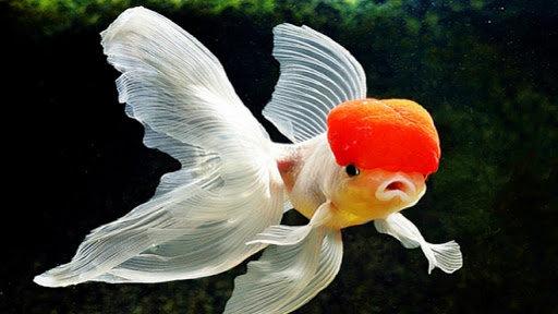 Bagaimana Cara Menumbuhkan Jambul Ikan Mas Koki Diskusi
