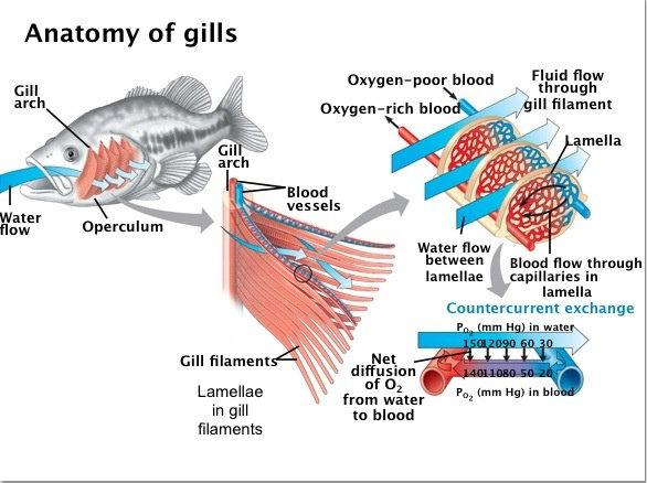 anatomi insang pada ikan