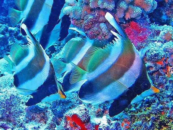 Threeband pennantfish, threeband bannerfish atau pennant bannerfish (Heniochus chrysostomus)