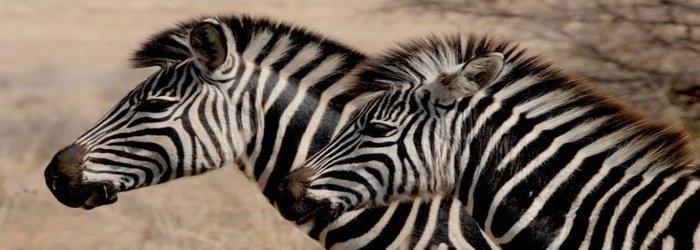 rsz_kisah-cerita-zebra