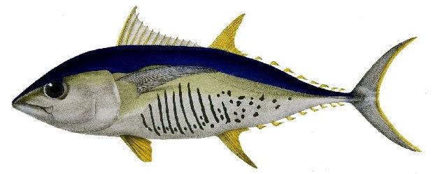Ikan tuna albakor