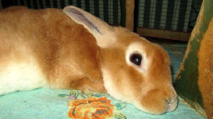 Penyakit pneumonia pada kelinci
