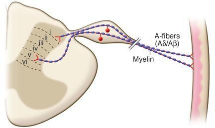 Anatomi jalur fiber-A (bawah)