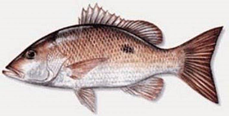 Ikan Sungli Salem