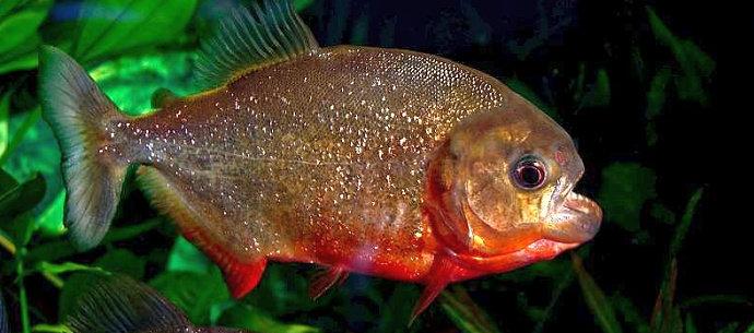 Ikan piranha Pygocentrus Nattereri