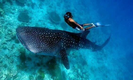 Menyelam-dengan-Hiu-Paus-Whale-Shark-2_1