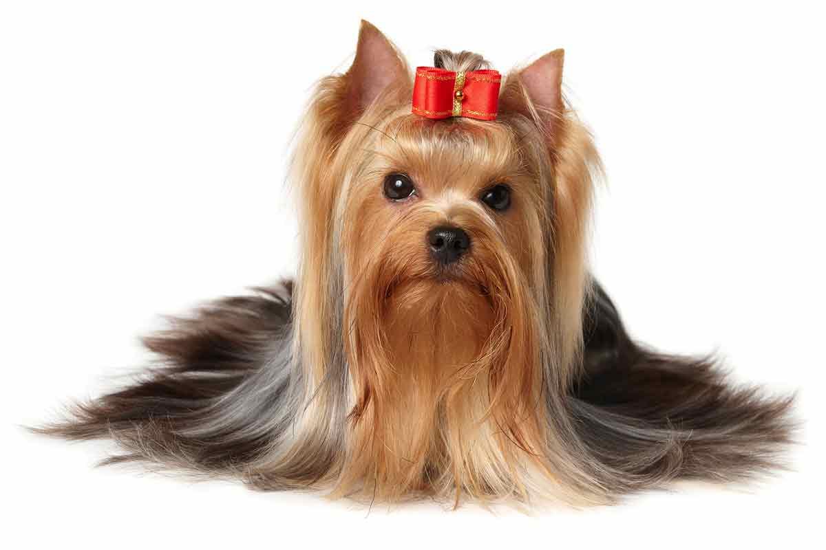 Yorkshire-Terrier-adult