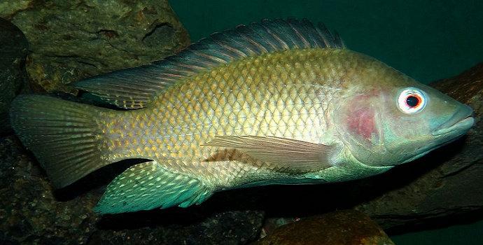 Apa Saja Keunggulan Ikan Nila Gift Akuakultur Dictio Community