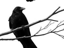 burung-gagak