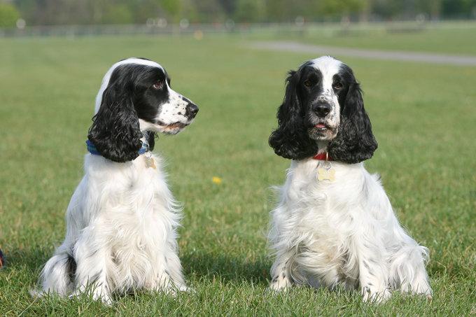 english-cocker-spaniel-dogs-puppies-1