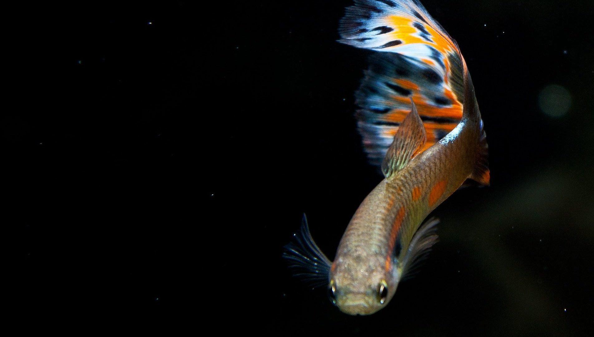 Apa Saja Jenis Pakan Yang Baik Untuk Anakan Ikan Guppy Diskusi