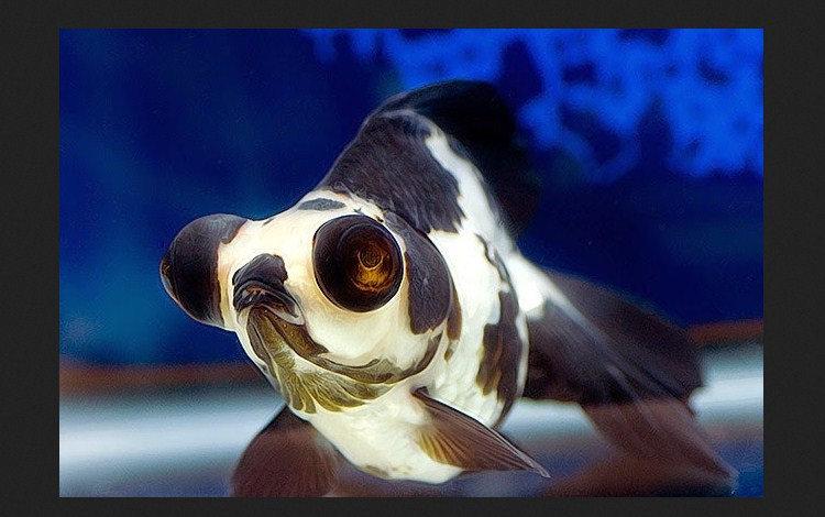 Ikan mas koki panda moor