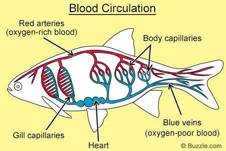 peredaran darah pada ikan