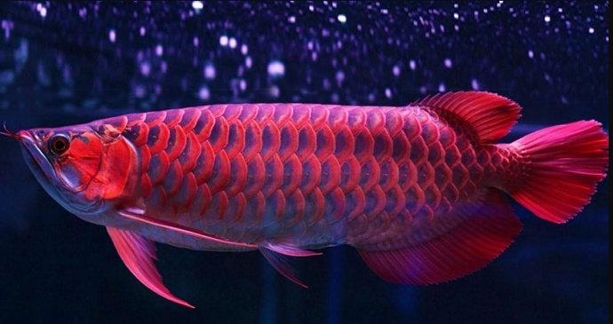 Ikan Arowana
