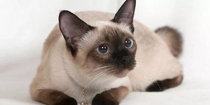 gambar 20 - kucing siam