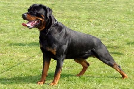Pertimbangan Ketika Ingin Memelihara Anjing Rottweiler Hewan Peliharaan Dictio Community