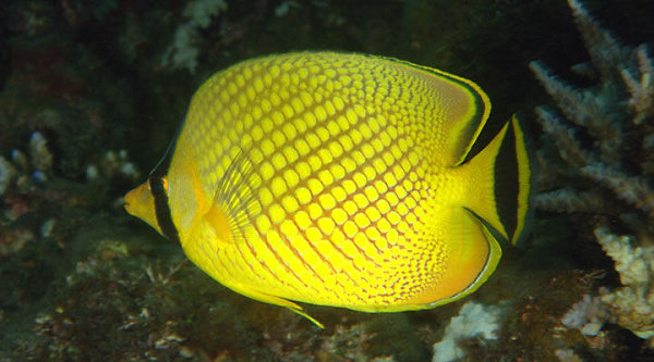 Latticed Butterflyfish (Chaetodon rafflesii)