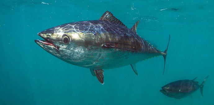Ikan tongkol abu-abu